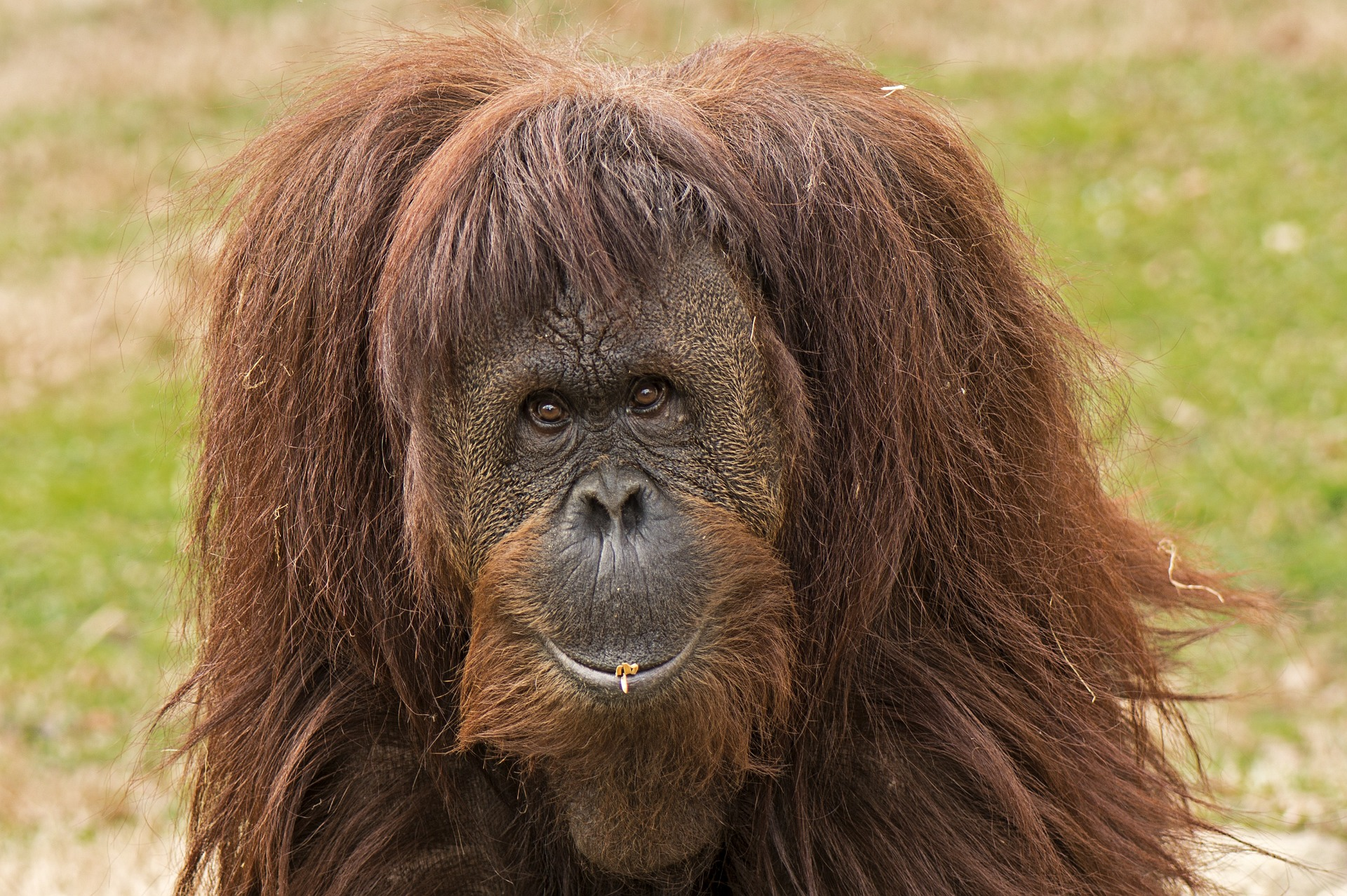 Orangutan Conservancy uses drones to monitor orangutans in Indonesia