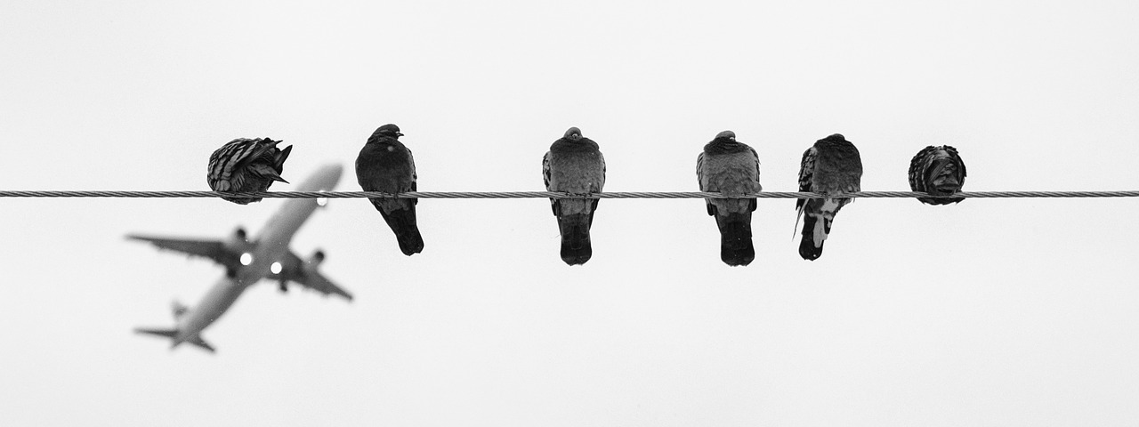 the birds, pigeons, pigeons of war, war pigeons